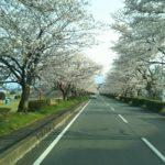 市川河原の桜トンネルでドライブスルーお花見